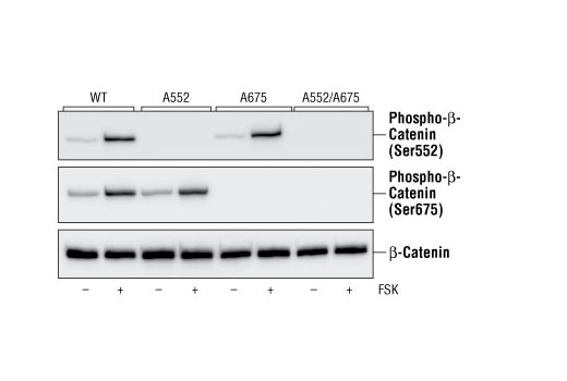 COS-7 cells were transfected with cDNAs for the DYKDDDDK-tagged wild type (WT) β-catenin or for Ser-to-Ala β-catenin mutants as indicated. Cells were stimulated with 10 mM forskolin (FSK) for 5 minutes and lysed. β-catenin or its mutants were immunoprecipitated with DYKDDDDK Tag Antibody (Binds to same epitope as Sigma's Anti-FLAG<sup>®</sup> M2 Antibody) #2368 and analyzed by western blotting with Phospho-β-Catenin (Ser552) Antibody #9566, Phospho-β-Catenin (Ser675) Antibody #9567, or DYKDDDDK Tag Antibody as indicated (Figures provided by Drs. Sebastien Taurin and Nickolai Dulin, Department of Medicine / Pulmonary, The University of Chicago).