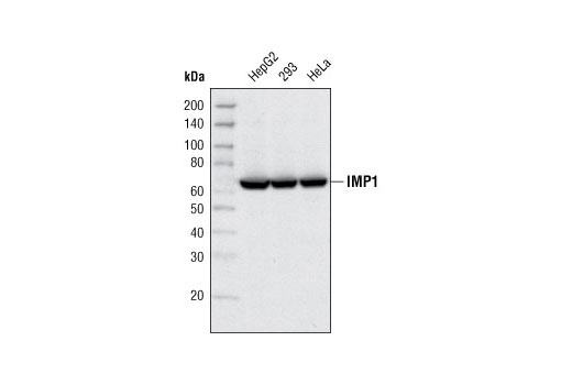Western blot analysis of extracts from various cell types using IMP1 Antibody.