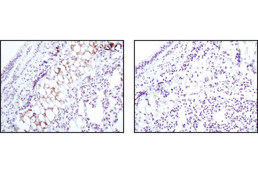 Immunohistochemical analysis of paraffin-embedded mouse lung using SCD1 (C12H5) Rabbit mAb (left) or without primary antibody (right).