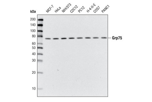 Western blot analysis of extracts from various cell types using Grp75 Antibody.