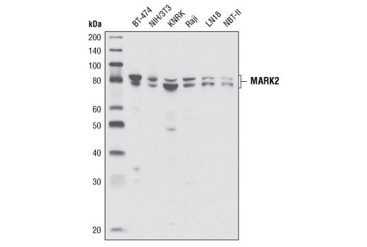 Western blot analysis of extracts from various cell lines using MARK2 Antibody.
