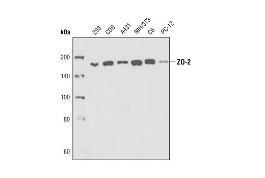 Western blot analysis of extracts from various cell types using ZO-2 Antibody.