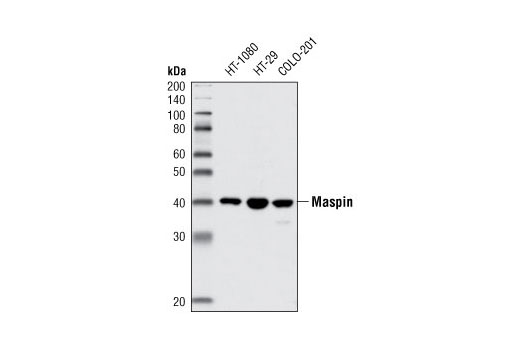 Western blot analysis of extracts from HT-1080, HT-29 and COLO-201 cell lines using Maspin (L250) Antibody.