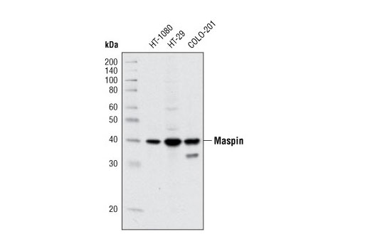 Western blot analysis of extracts from HT-1080, HT-29 and COLO-201 cell lines using Maspin (T50) Antibody.