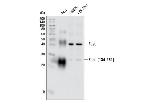 Polyclonal Antibody Cellular Chloride Ion Homeostasis