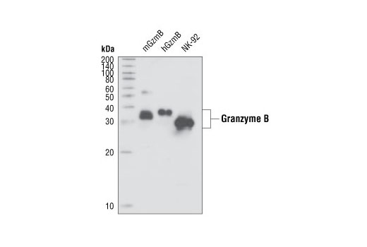 Human Induction of Apoptosis by Granzyme
