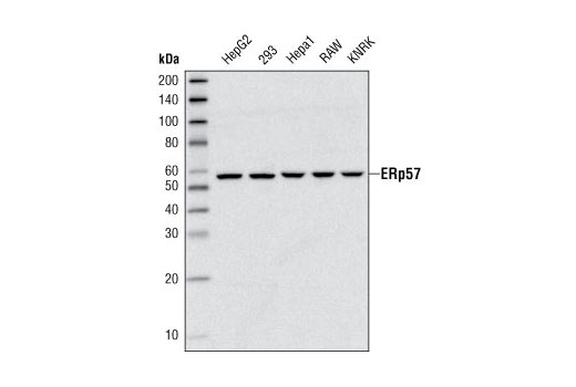 Western blot analysis of extracts from various cell types using ERp57 (G117) Antibody.