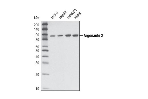 Western blot analysis of extracts from various cell types using Argonaute 2 (C34C6) Rabbit mAb.