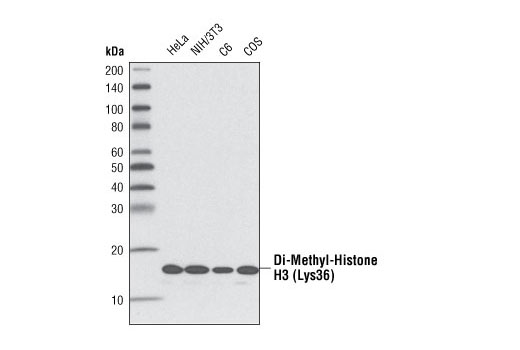 Image 19: Methyl-Histone H3 (Lys36) Antibody Sampler Kit