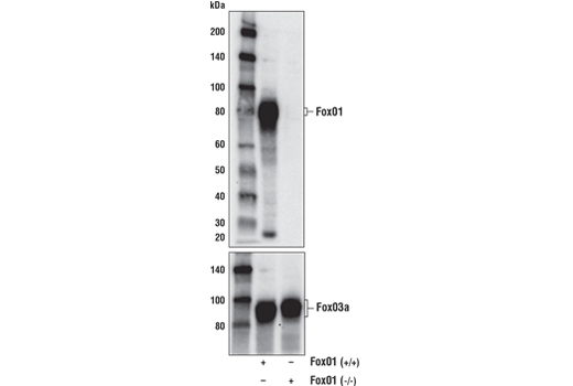 Western blot analysis of extracts from 293T cells, either wild type (+/+) or FoxO1 (-/-), using FoxO1 (C29H4) Rabbit mAb (upper) and FoxO3a (75D8) Rabbit mAb #2497 (lower).