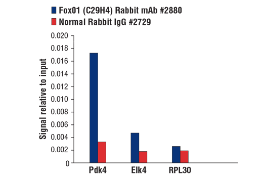 Chromatin immunoprecipitations were performed with cross-linked chromatin from mouse liver tissue and either FoxO1 (C29H4) Rabbit mAb or Normal Rabbit IgG #2729 using SimpleChIP® Plus Enzymatic Chromatin IP Kit (Magnetic Beads) #9005. The enriched DNA was quantified by real-time PCR using SimpleChIP® Mouse Pdk4 Promoter Primers #31195, mouse Elk4 upstream primers and SimpleChIP® Mouse RPL30 Intron 2 Primers #7015. The amount of immunoprecipitated DNA in each sample is represented as signal relative to the total amount of input chromatin, which is equivalent to one.
