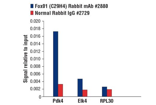 CST - FoxO1 (C29H4) Rabbit mAb