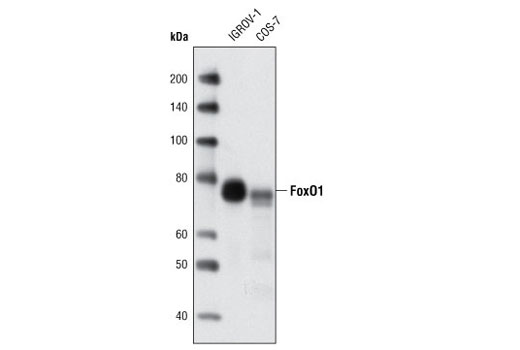 Western blot analysis of extracts from IGROV-1 and COS-7 cells using FoxO1 (C29H4) Rabbit mAb.
