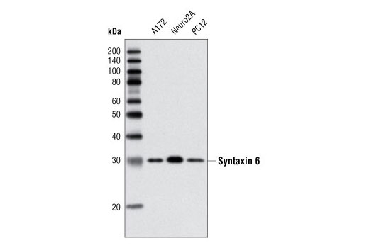 Western blot analysis of extracts from various cell lines using Syntaxin 6 (C34B2) Rabbit mAb.