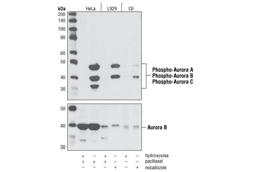 Western blot analysis of extracts from HeLa, L929 and C6 cells, treated with 4 mM hydroxyurea for 20 hours to induce G1/S phase or treated with 100 nM paclitaxel or 100 ng/ml nocodazole for 20 hours to induce G2/M phase, using Phospho-Aurora A (Thr288)/Aurora B (Thr232)/Aurora C (Thr198) (D11A13) XP<sup>®</sup> Rabbit mAb (upper) or Aurora B/AIM1 Antibody #3094 (lower).
