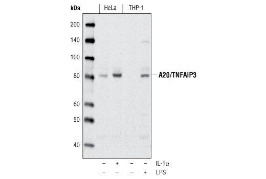 Polyclonal Antibody Negative Regulation of Innate Immune Response - count 20