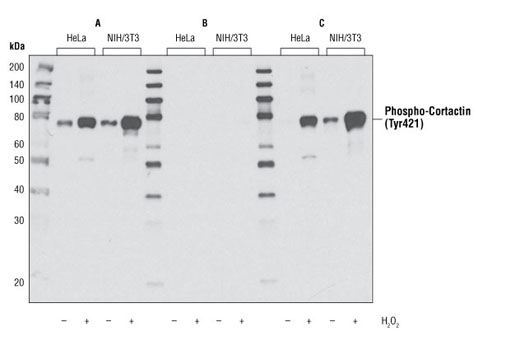 Western blot analysis of extracts from HeLa or NIH/3T3 cells, untreated or treated with hydrogen peroxide, using Phospho-Cortactin (Tyr421) Antibody in the presence of no peptide (A), a phospho-cortactin (Tyr421) peptide (B) or a nonphospho-cortactin peptide (C).
