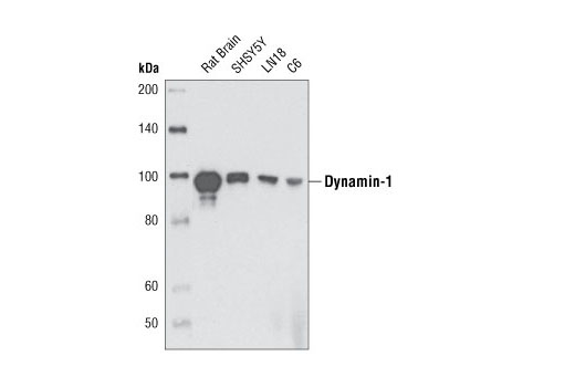 Western blot analysis of extracts from various cell types using Dynamin-I (3G4B6) Mouse mAb.