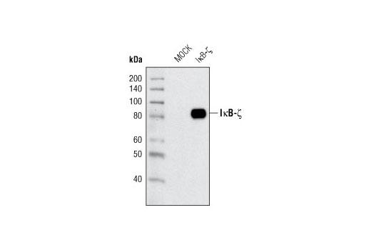 Polyclonal Antibody - IκB-ζ Antibody - Immunoprecipitation, Western Blotting, UniProt ID Q9BYH8, Entrez ID 64332 #9244