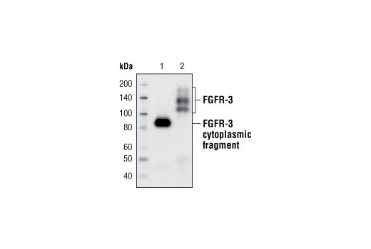 Western blot analysis of recombinant human FGFR-3 cytoplasmic fragment proteins (lane 1) and extracts from KMS-11 cells (lane 2) using FGF Receptor 3 (C51F2) Rabbit mAb.