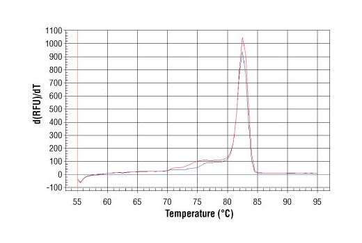 PCR product melting curves were obtained for real-time PCR reactions performed using SimpleChIP<sup>®</sup> Mouse RPL30 Intron 2 Primers. Data is shown for both duplicate PCR reactions using 20 ng of total DNA. The melt curve consists of 80 melt cycles, starting at 55°C with increments of 0.5°C per cycle. Each peak is formed from the degradation of a single PCR product.