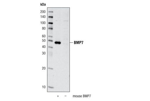 Western blot analysis of extracts from COS cells, mock transfected or transfected with mouse BMP7, using BMP7 Antibody.