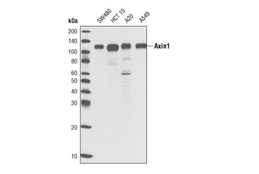 Western blot analysis of extracts from various cell lines using Axin1 (C76H11) Rabbit mAb.