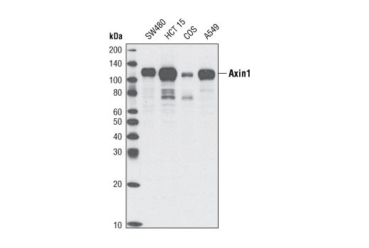 Western blot analysis of extracts from various cell lines using Axin1 (C95H11) Rabbit mAb.