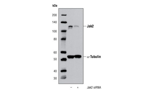 Western blot analysis of extracts from K-562 cells, transfected with 100 nM SignalSilence® Control siRNA (Unconjugated) #6568 (-) or Jak2 siRNA (+), using Jak2 (D2E12) XP<sup>®</sup> Rabbit mAb #3230 and α-Tubulin (11H10) Rabbit mAb #2125. The Jak2 (D2E12) XP<sup>®</sup> Rabbit mAb confirms silencing of Jak2 expression, while the α-Tubulin (11H10) Rabbit mAb is used to control for loading and specificity of Jak2 siRNA.