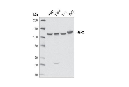 Western blot analysis of extracts from K-562, THP-1, TF-1 and BaF3 cell lines using Jak2 (D2E12) XP<sup>®</sup> Rabbit mAb.