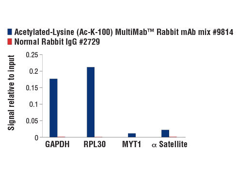 Chromatin immunoprecipitations were performed with cross-linked chromatin from HeLa cells and either Acetylated-Lysine (Ac-K-100) MultiMab™ Rabbit mAb mix #9814 or Normal Rabbit IgG #2729, using SimpleChIP<sup>®</sup> Enzymatic Chromatin IP Kit (Magnetic Beads) #9003. The enriched DNA was quantified by real-time PCR using SimpleChIP<sup>®</sup> Human GAPDH Exon 1 Primers #5516, SimpleChIP<sup>®</sup> Human RPL30 Exon 3 Primers #7014, SimpleChIP<sup>®</sup> Human MYT-1 Exon 1 Primers #4493, and SimpleChIP<sup>®</sup> Human α Satellite Repeat Primers #4486. The amount of immunoprecipitated DNA in each sample is represented as signal relative to the total amount of input chromatin, which is equivalent to one.