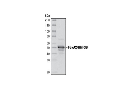 Western blot analysis of extracts from HepG2 cells using FoxA2/HNF3β Antibody.