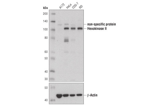 Western blot analysis of various cell extracts using Hexokinase II (C64G5) Rabbit mAb (upper) and β-Actin (13E5) Rabbit mAb #4970 (lower).