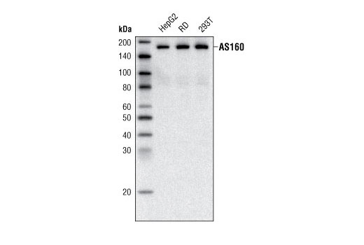 Monoclonal Antibody - AS160 (C69A7) Rabbit mAb - Immunoprecipitation, Western Blotting, UniProt ID O60343, Entrez ID 9882 #2670, As160
