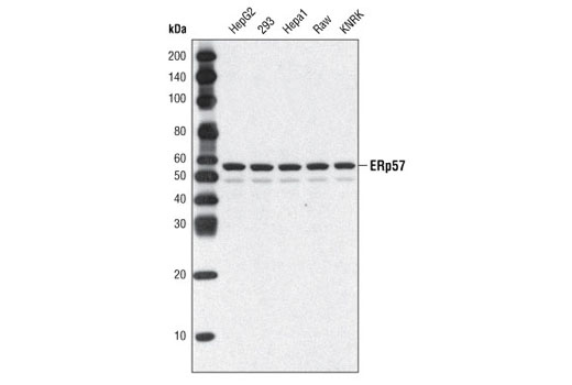 Western blot analysis of extracts from various cell types using ERp57 (A484) Antibody.