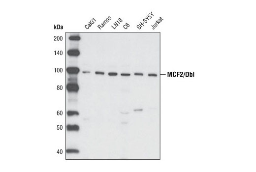 Western blot analysis of extracts from various cell types using MCF2/Dbl Antibody.