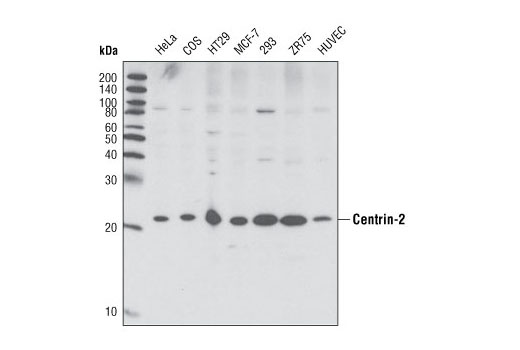 Western blot analysis of extracts from various cell lines using Centrin-2 Antibody.
