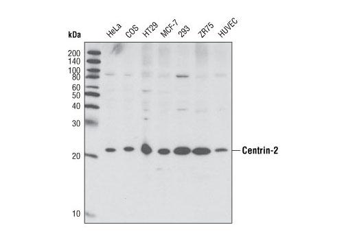 Polyclonal Antibody - Centrin-2 Antibody - Western Blotting, UniProt ID P41208, Entrez ID 1069 #2091, Centrin2