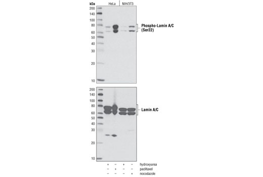 Western blot analysis of extracts from HeLa and NIH/3T3 cells, hydroxyurea-treated (4 mM, 20 hours) to induce G1/S phase or paclitaxel-treated (100 nM, 20 hours) or nocodazole-treated (100 ng/ml, 20 hours) to induce G2/M phase, using Phospho-Lamin A/C (Ser22) Antibody (upper) or Lamin A/C Antibody #2032 (lower) as a loading control.