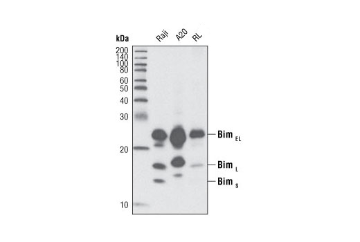 Monoclonal Antibody Ihc-Leica® bond™ Regulation of Cell Cycle