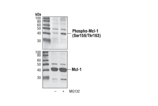 Western blot analysis of extracts from H929 cells, untreated or treated with the proteasome inhibitor MG132 for 2 hrs, using Phospho-Mcl-1 (Ser159/Thr163) Antibody (upper) or total Mcl-1 Antibody #4572 (lower).