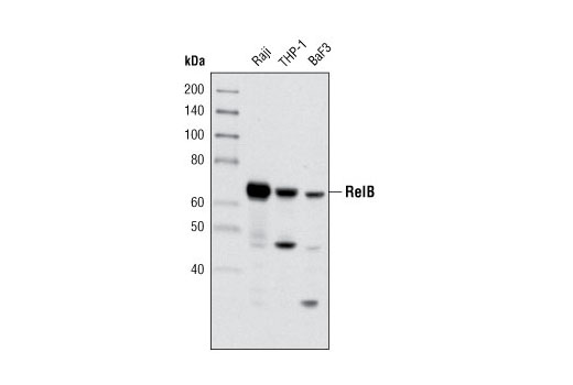 Rat T-Helper 1 Cell Differentiation