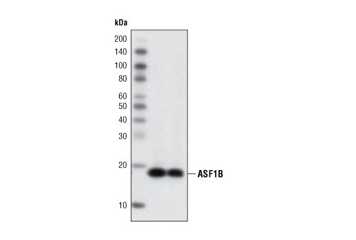 Monoclonal Antibody - ASF1B (C70E2) Rabbit mAb - Immunoprecipitation, Western Blotting, UniProt ID Q9NVP2, Entrez ID 55723 #2902 - Chromatin Regulation / Nuclear Function