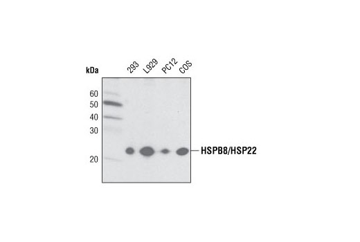 Polyclonal Antibody - HSPB8/HSP22 Antibody - Western Blotting, UniProt ID Q9UJY1, Entrez ID 26353 #3059 - Protein Folding and Trafficking