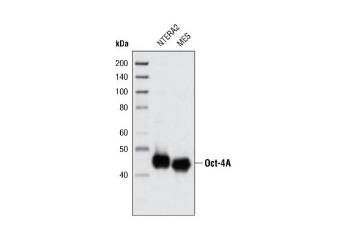 Western blot analysis of extracts from NTERA2 and mouse embryonic stem cells (mESCs) using Oct-4A (C30A3) Rabbit mAb.