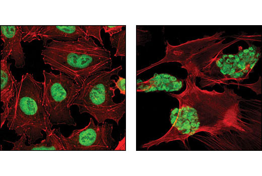 Confocal immunofluorescent analysis of NTERA2 (left) and mouse embryonic stem (mES) cells growing on mouse embryonic fibroblast (MEF) feeder cells (right) using Oct-4A (C30A3) Rabbit mAb (green). Actin filaments have been labeled with DY-554 phalloidin (red).