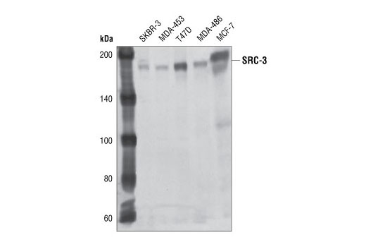 Western blot analysis of cell extracts from various cell lines, using SRC-3 (11B1) Mouse mAb.