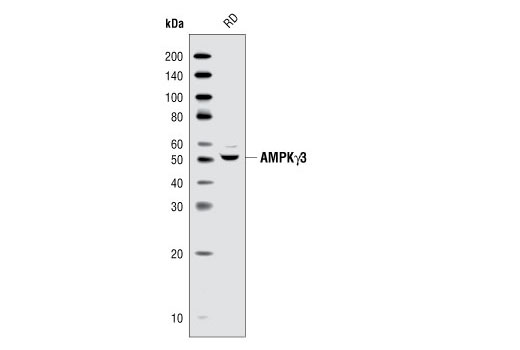 Western blot analysis of extracts from RD cells, using AMPKγ3 Antibody.