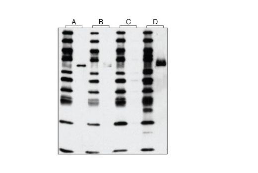 Western blot analysis of purified active Ron kinase using a Phospho-Ron (Ser1394) Antibody (A), a Phospho-Ron (Tyr1238/1239) Antibody (B), Phospho-Met (Tyr1234/1235) (D26) XP<sup>®</sup> Rabbit mAb (C) and Phospho-Tyrosine Mouse mAb (P-Tyr-100) #9411 (D). This demonstrates that Phospho-Met (Tyr1234/1235) (D26) XP<sup>®</sup> Rabbit mAb does not cross-react with phospho-Ron by western analysis.