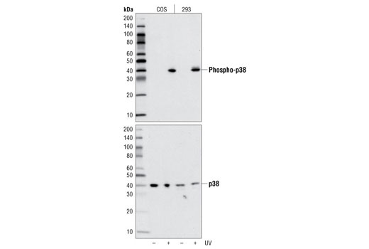 Western blot analysis of extracts from COS and 293 cells, untreated or UV-treated, using Phospho-p38 MAPK (Thr180/Tyr182) (D3F9) XP<sup>®</sup> Rabbit mAb (upper) or p38 MAPK Antibody #9212 (lower).